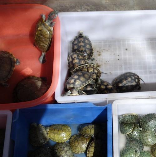 20130928_kunming_markt_zoohandlung_wasserschildkroeten